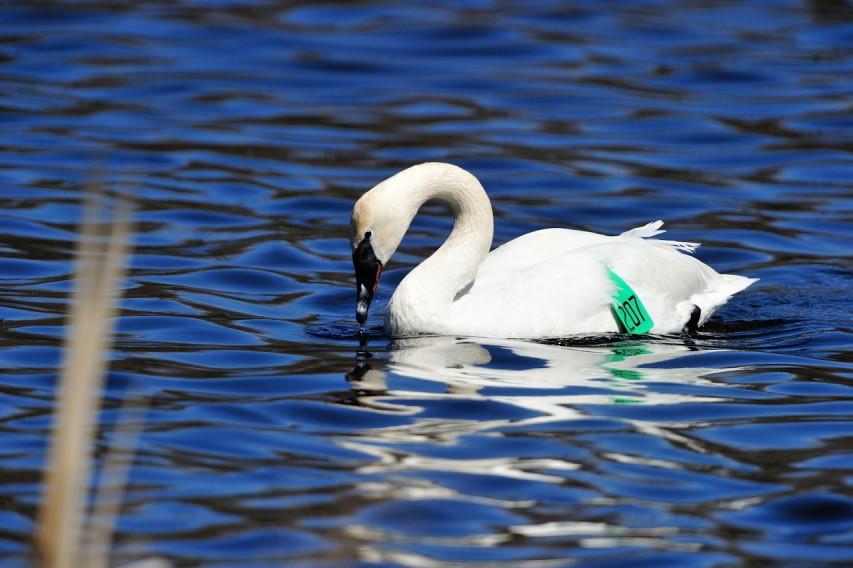 NYS environment swan